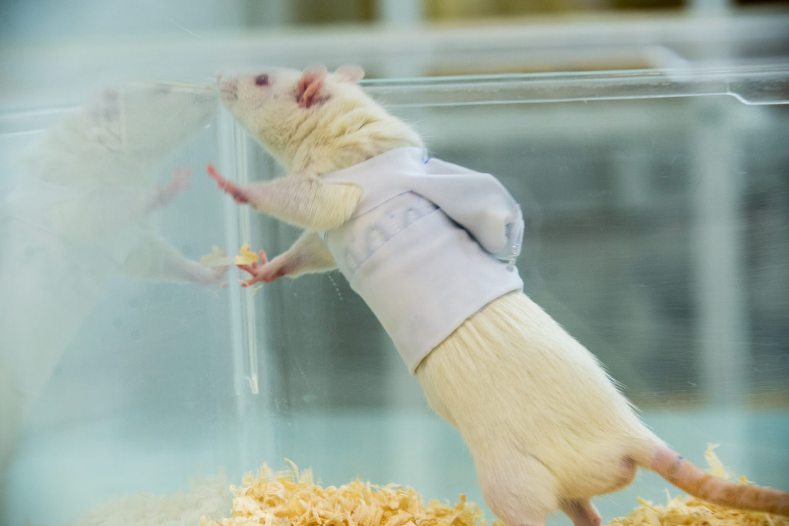 a rat standing in his housing cage with cardiorespiratory telemetric jacket
