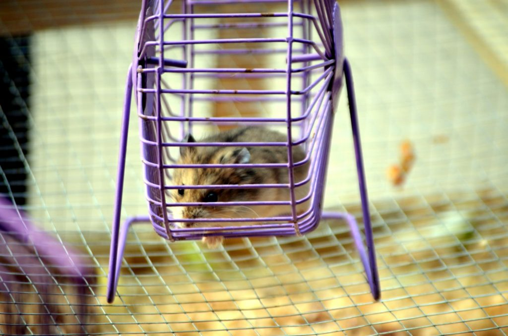 hamster doing exercice in the wheel